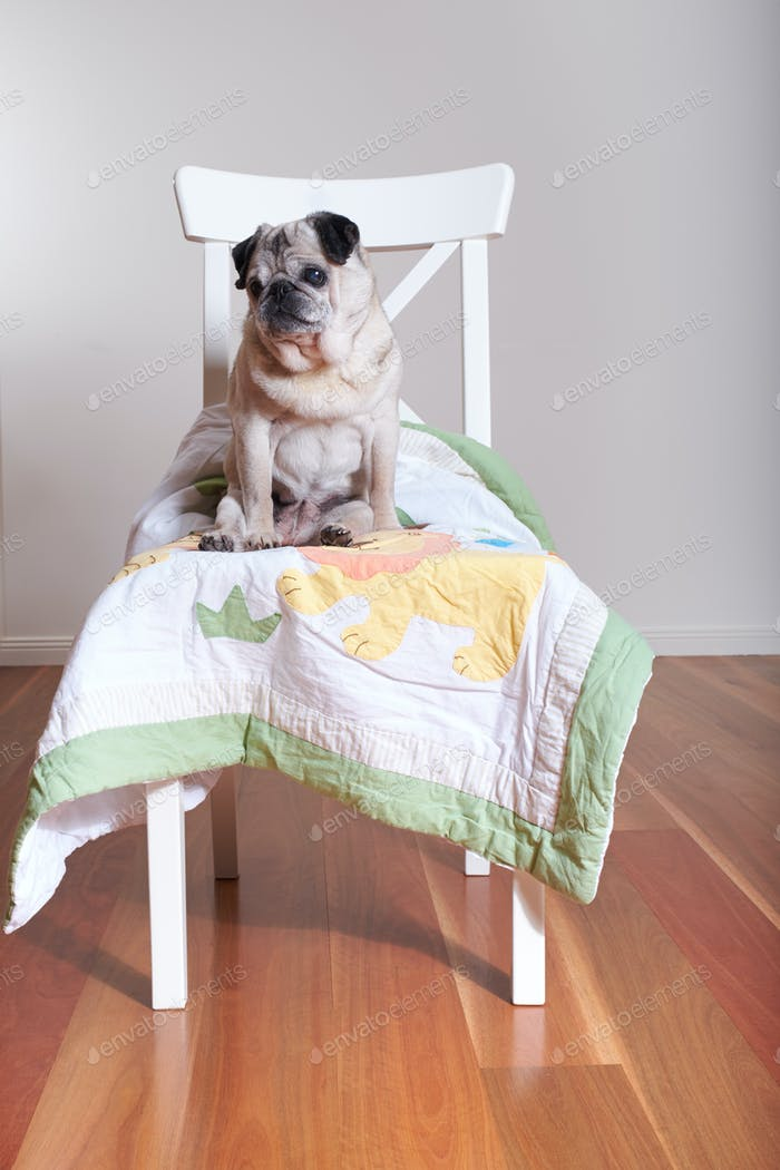 pug dog sitting on chair