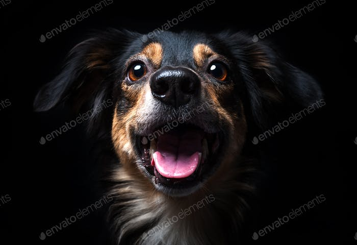 Portrait of Border collie isolated on black background
