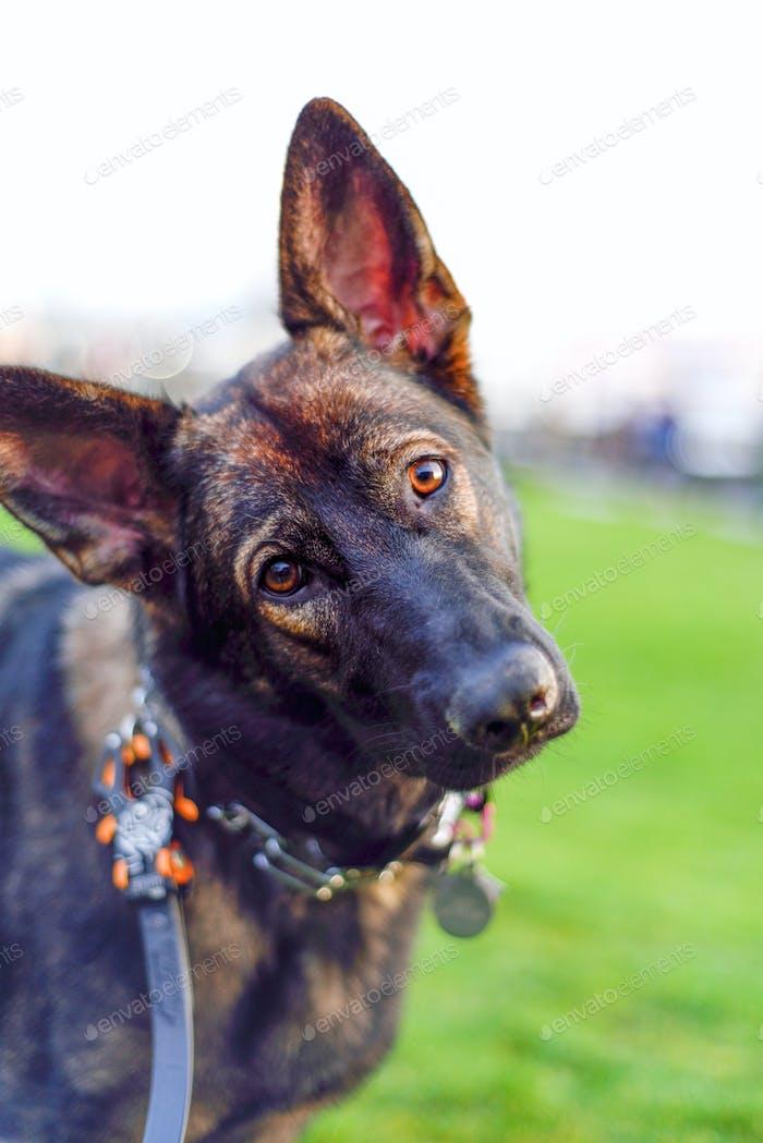Sable Schäferhund mit geneigtem Kopf, der Blickkontakt außerhalb des Sommerparks macht. RLtheis