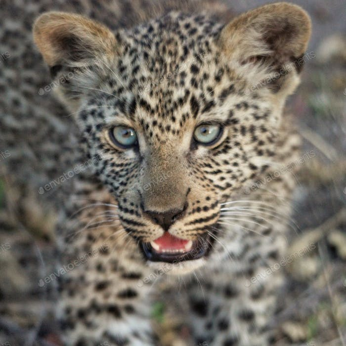 4-month-old leopard cub at Sabi Sands, South Africa
