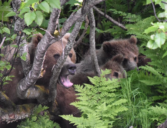 Mama grizzly and two grizzly Cubs hiding in the bushes