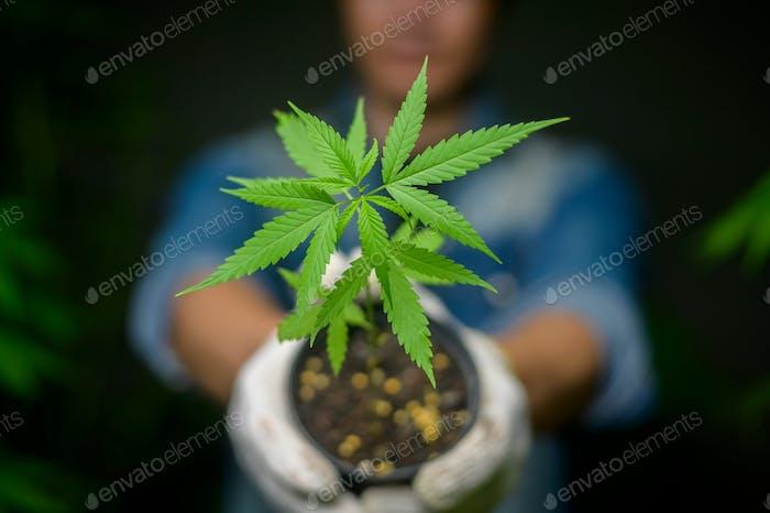 Farmer is holding cannabis seedlings in legalized farm.