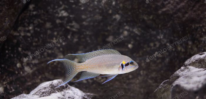 Beautiful cichlid fish with blue fins swimming in a rocky and sand aquarium.