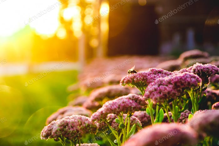 A bumblebee hovers on a flower at sunset.