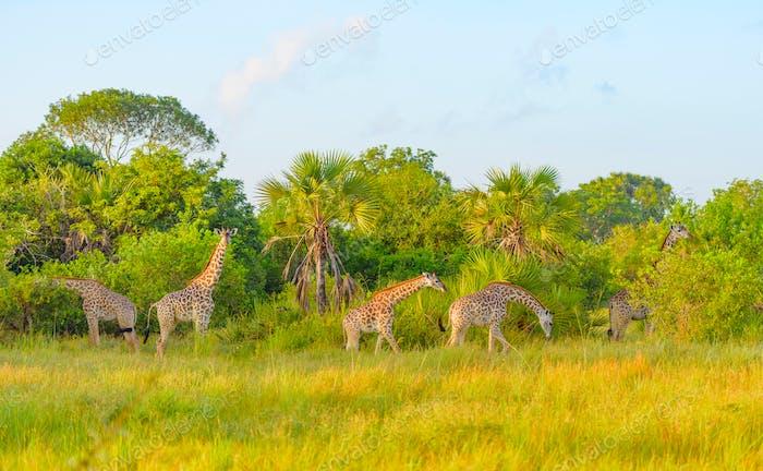 Giraffen im Safaripark in Tansania