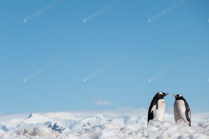 Gentoo Penguins in Snowy Antarctica