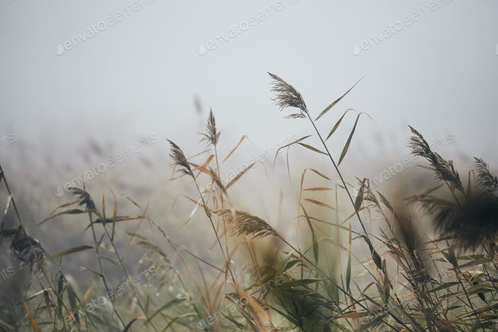 Close-up of reeds in gloomy autumn morning in nature.