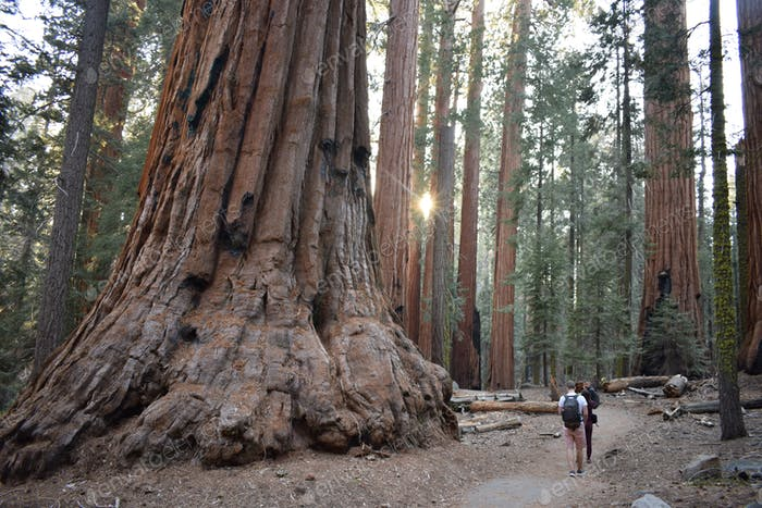Friends are walking among the giant trees in the beautiful sequoia forest