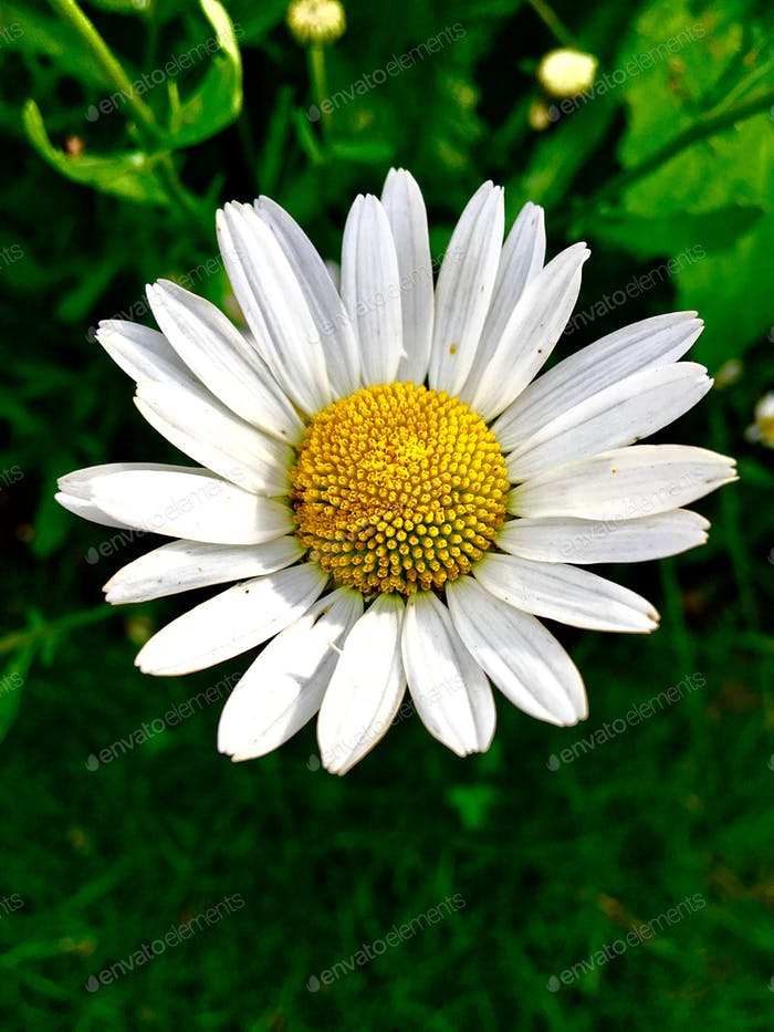 Beautiful chamomile flower head