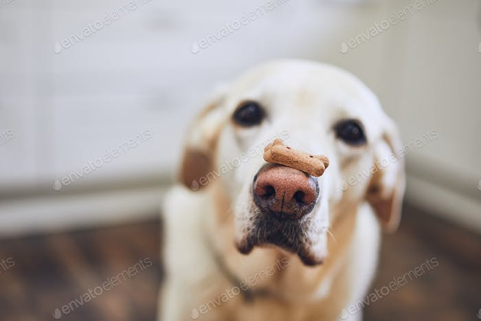 Labrador retriever balancing dog biscuit with bone shape on his nose.