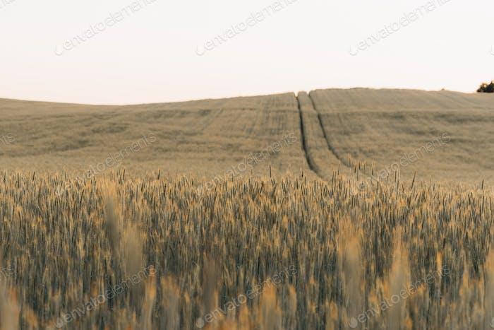 Wheat field , summer nature natural wallpaper Desktop background, open empty road