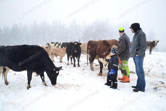 Füttern des Viehs