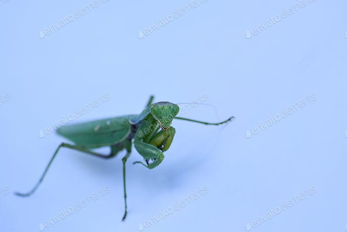 Close up shot of green mantis on white background. Predatory insect.