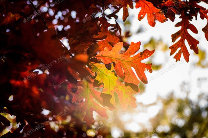 Closeup of colorful autumn leaves in brilliant afternoon sunlight
