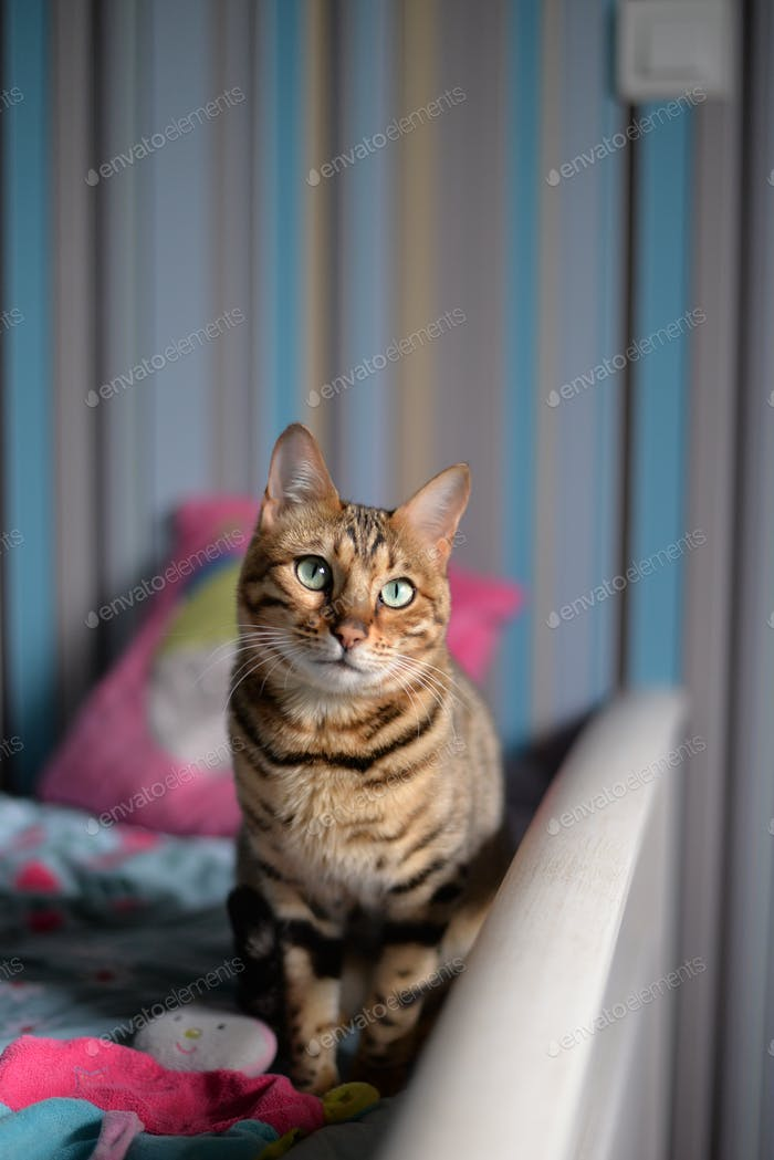 bengal cat in a kid room