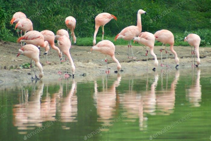 Flamingos at the waters edge