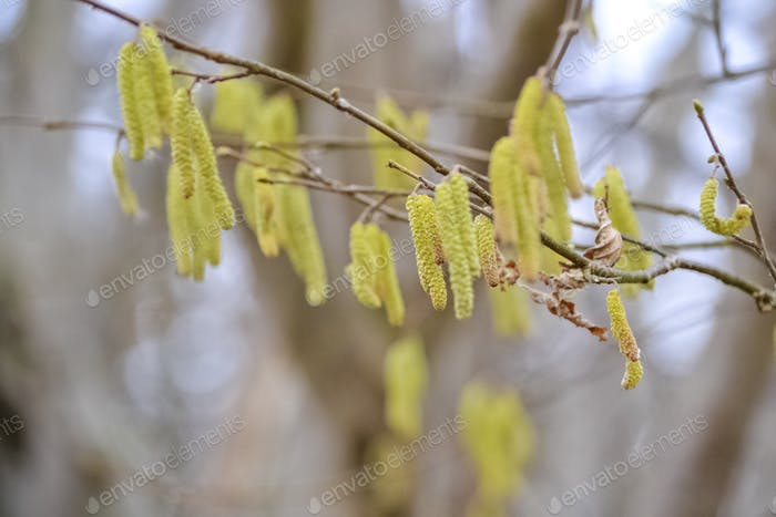 Pollen seed  - tree