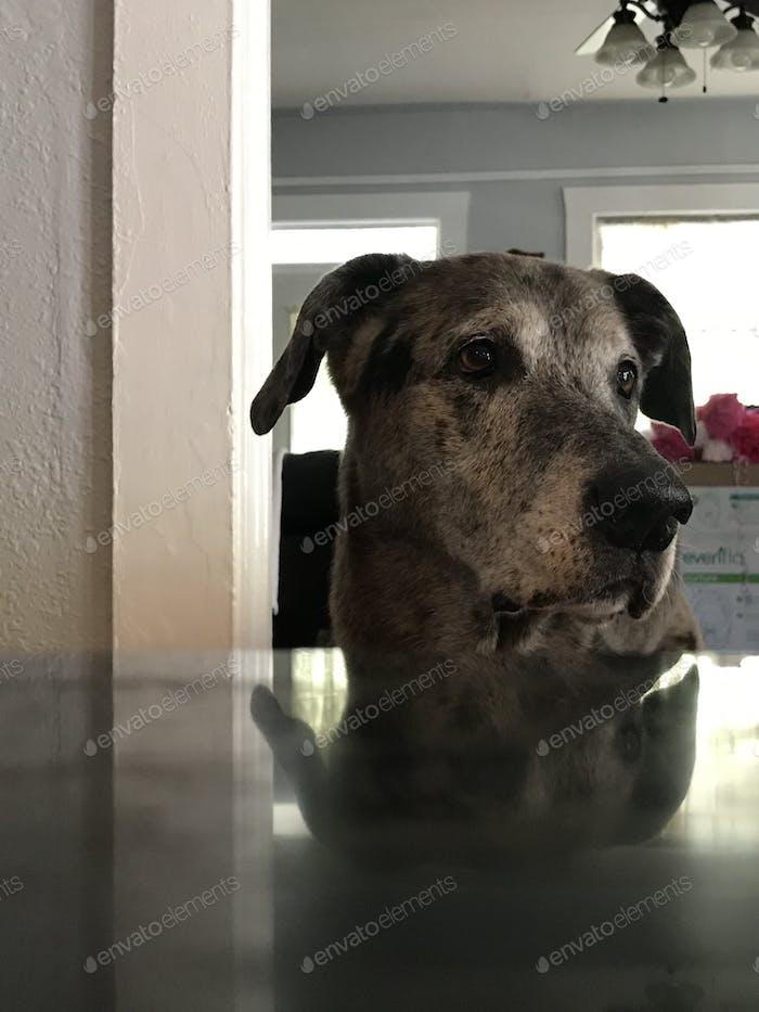 Ol vier Beine schleichen sich an den Tisch auf der Suche nach Snacks. Süßer Senior-Hund