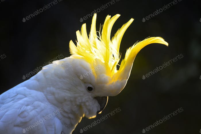 The sulphur crest of the cockatoo..
