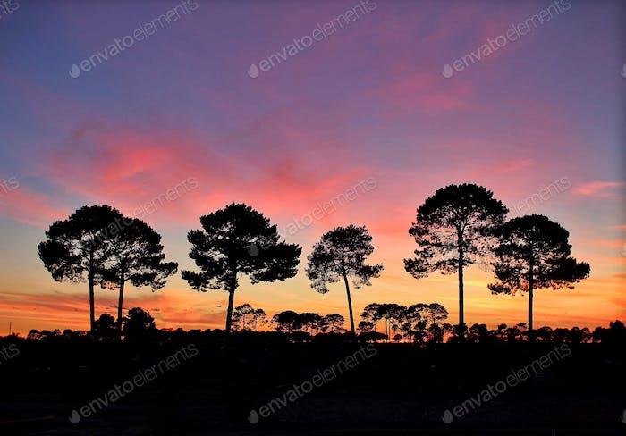 Tall pine trees silhouette