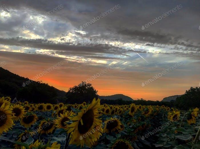 Sunset, sun flowers