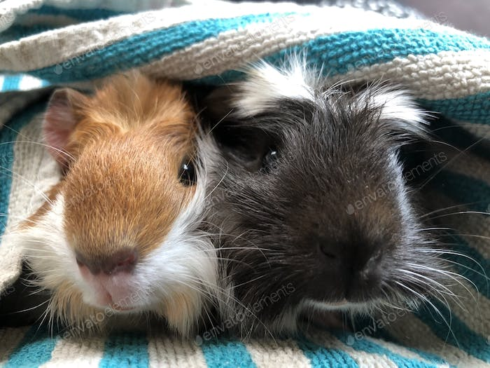 guinea pig brother and sis.