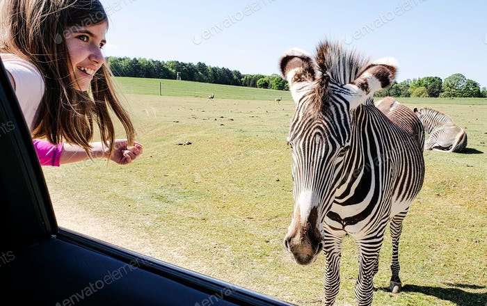 Little girl leans outside a car window to pet a zebra at a drive through game ranch....