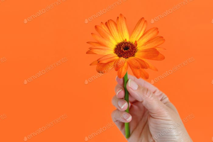 Female hand Holding an Orange Gerber daisy against an orange background.