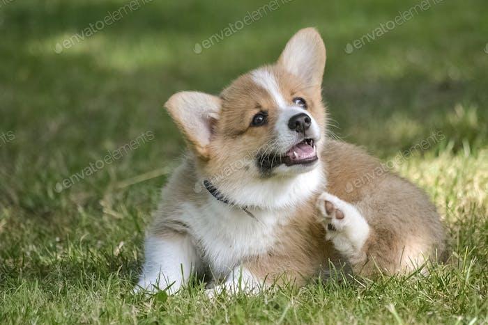 A corgi puppy scratches himself