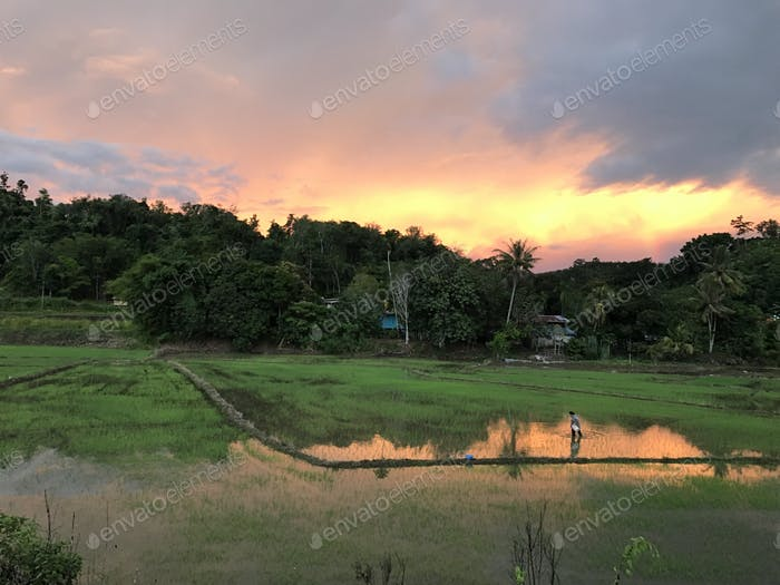 Paddy field at sunset