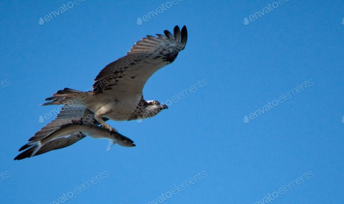 Nominated- Osprey flying against a blue sky with a fish clutched in its talons