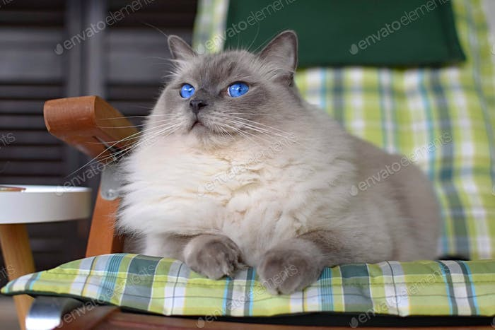 His majesty the cat! Gorgeous purebred cat with blue eyes.