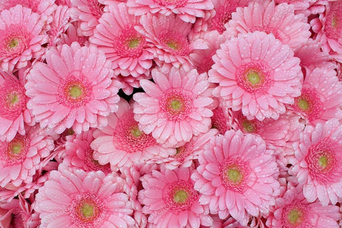 Natural background of pink Gerber daisies