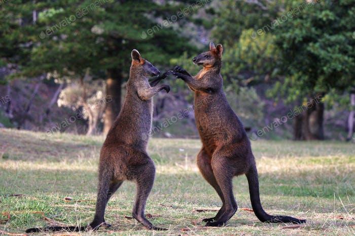 Two wallabies/ kangaroos fighting