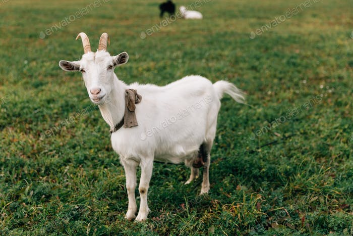 The white goat with big horns and a beard costs on a green field and raises a tail