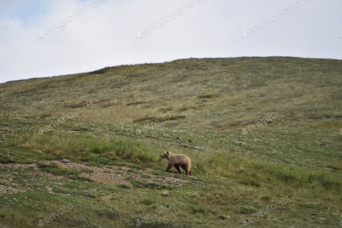 Nominated Baby grizzly bear cub walking after mama on the Alaska tundra