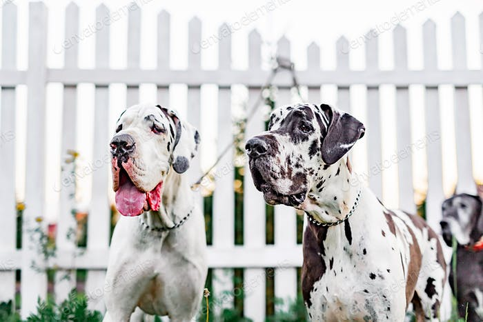 Great Dane dogs near the fence