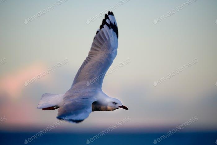 An early riser! Sydney's Silver Gulls.