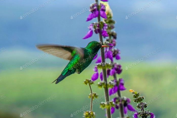 Incredible Colorful Hummingbird  flying