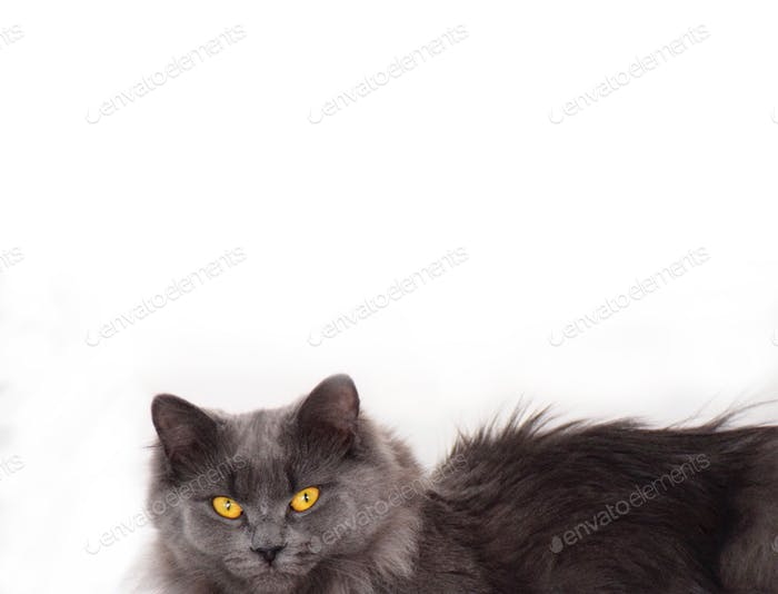 Grey cat with yellow eyes isolated on white background with space for copy