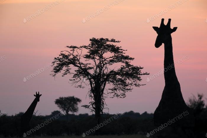 Auf Safari in Botswana