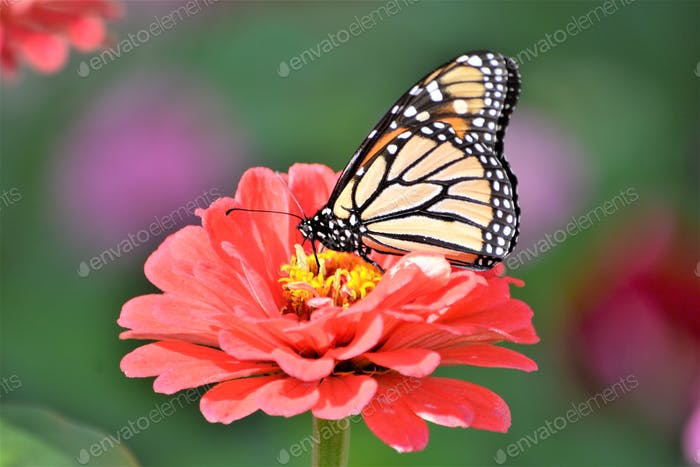 Bright & colorful Dahlia with a monarch butterfly feasting