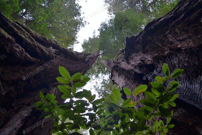 Blick auf die riesigen kalifornischen Redwood-Bäume in den Himmel im State Park von Muir Woods.