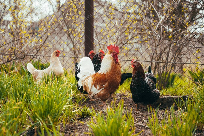 rooster and chickens graze in the backyard in the village