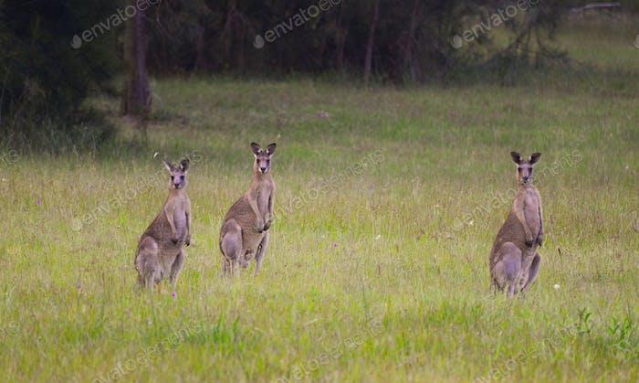 Kangaroos on high alert!