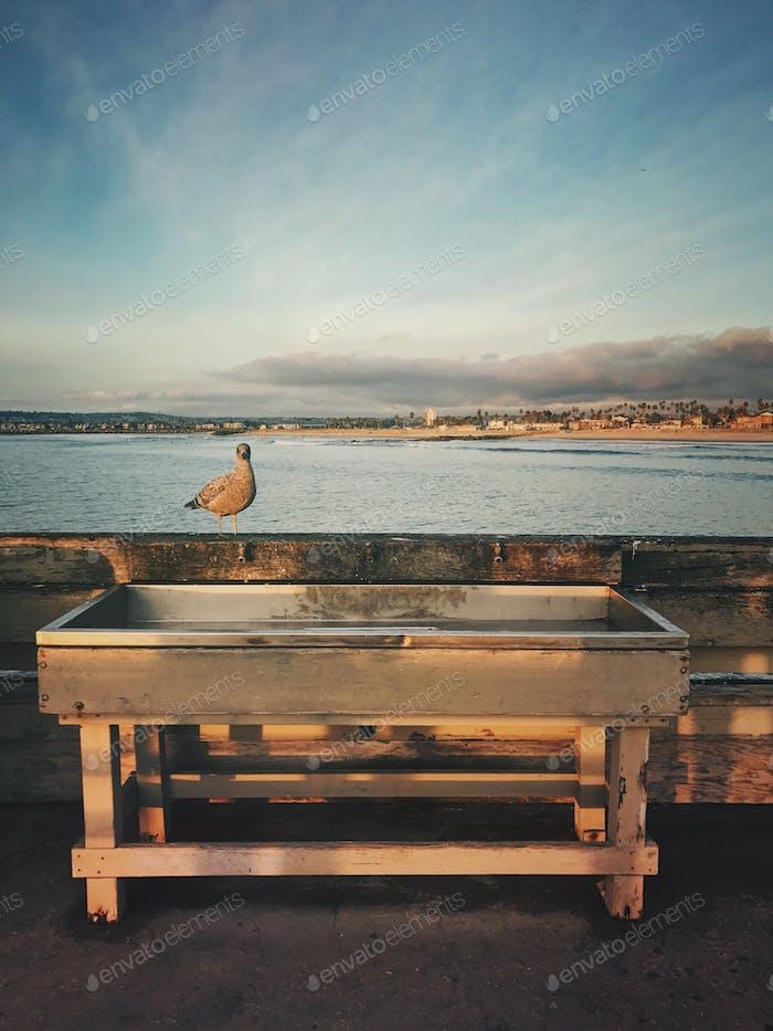 Waiting Gull