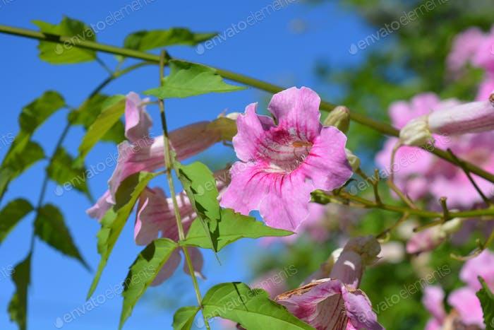 Flor de trompeta rosa, Bignonia rosado, también conocida como Podranea ricasoliana