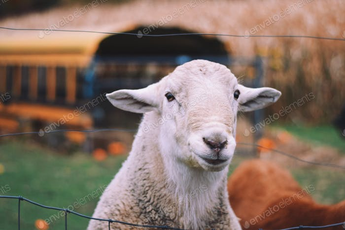 A portrait of a sheep at a farm