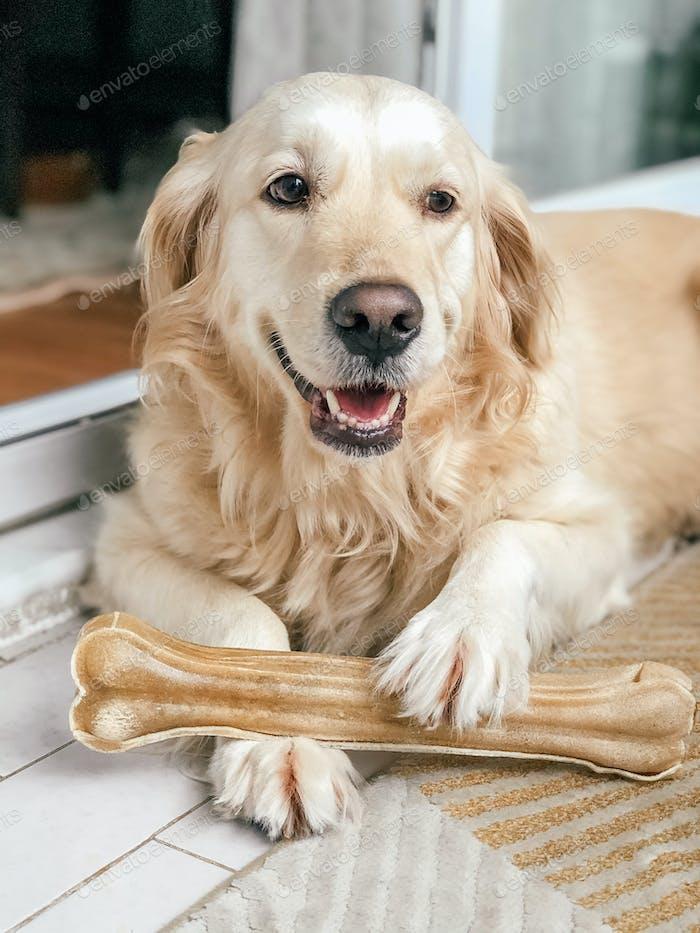 Golden retriever and a bone