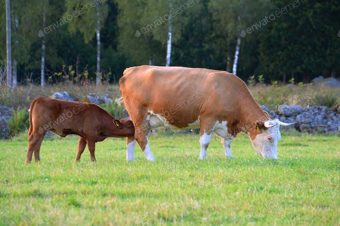 Kuh und ein Kalb
